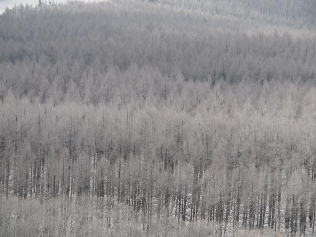 冬のカラマツ林_d0102327_17425316.jpg