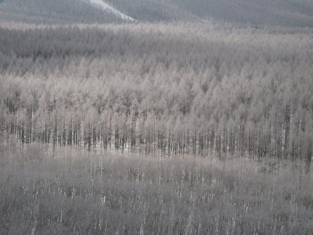 冬のカラマツ林_d0102327_1743282.jpg