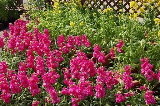 花の回廊「早春の草花展」_a0164068_16562443.jpg