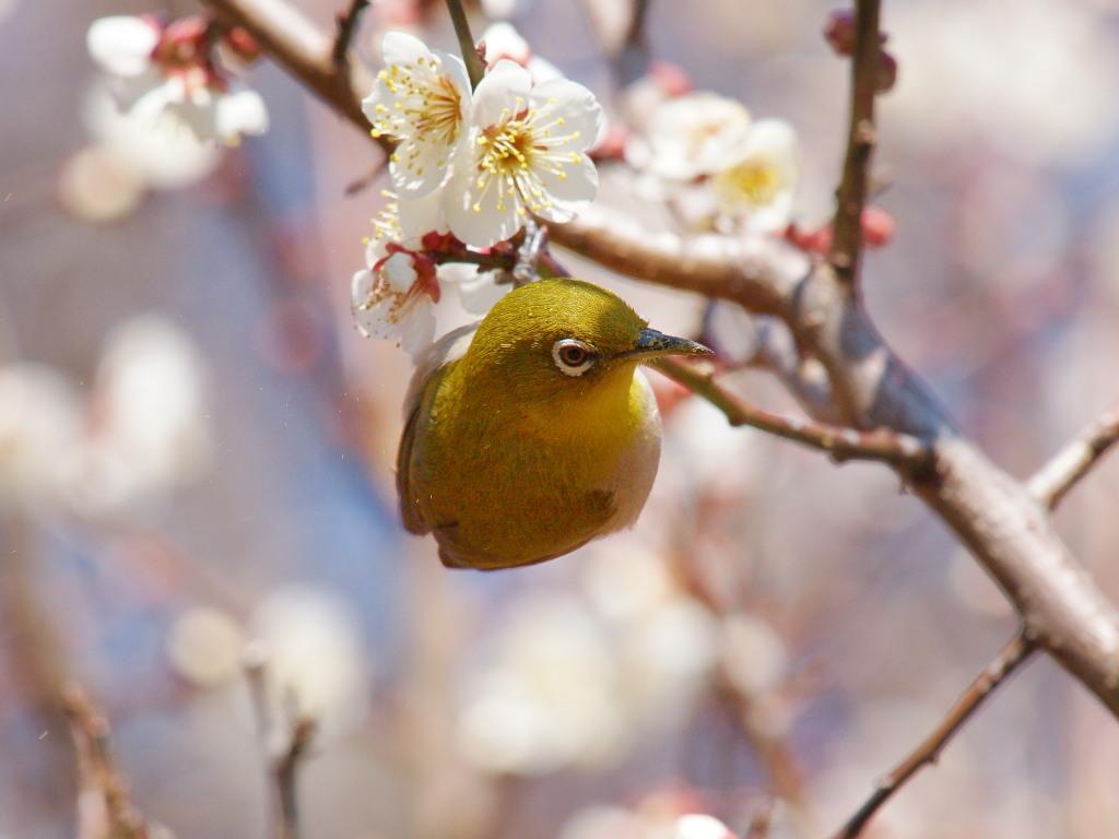梅にメジロ_d0192516_19134174.jpg