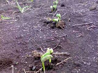 芽が出ました。_b0124636_219177.jpg