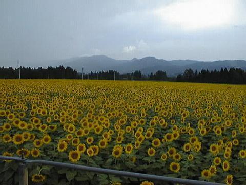 新潟県の津南町のひまわり畑_e0225148_1293296.jpg