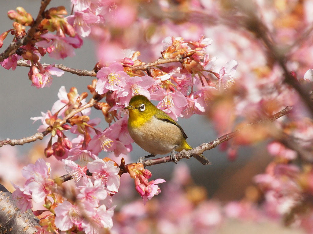 桜にメジロ_d0192516_16542580.jpg