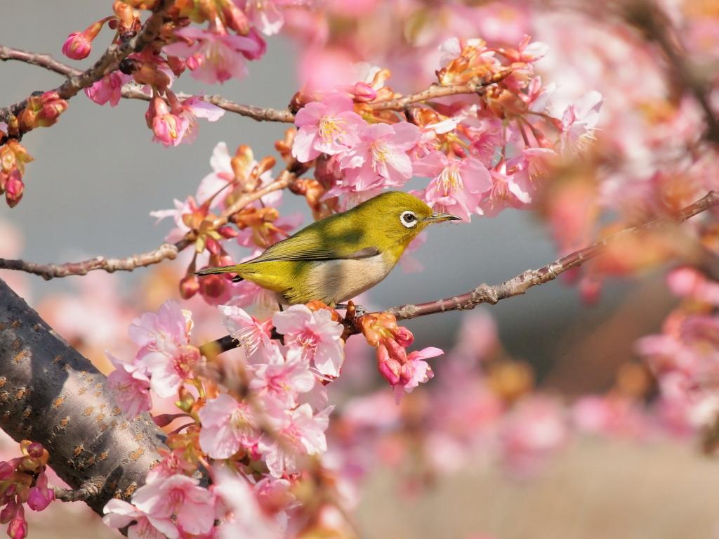 桜にメジロ_d0192516_165461.jpg