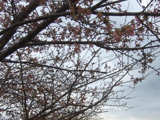 桜祭り.....寒い中震えながら!_b0137932_2010557.jpg