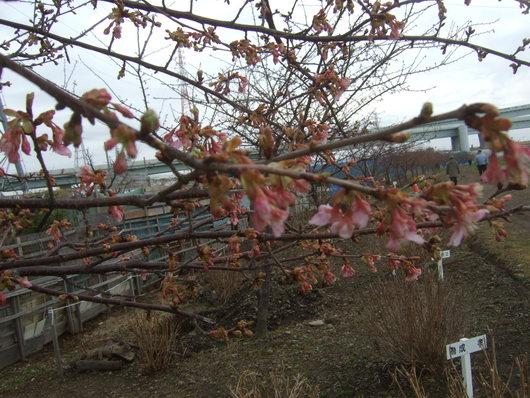 桜祭り.....寒い中震えながら!_b0137932_2011259.jpg