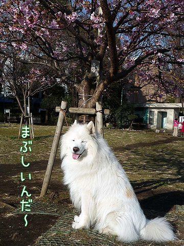 早咲き桜_c0062832_1920529.jpg