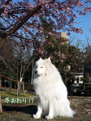 早咲き桜_c0062832_19232219.jpg