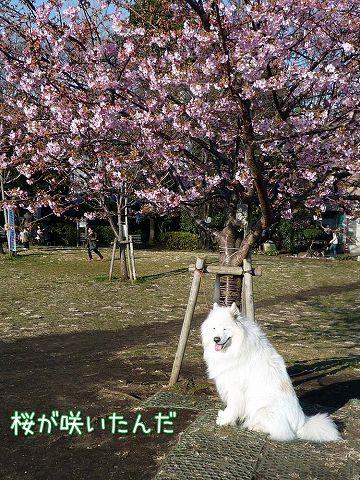 早咲き桜_c0062832_192348.jpg