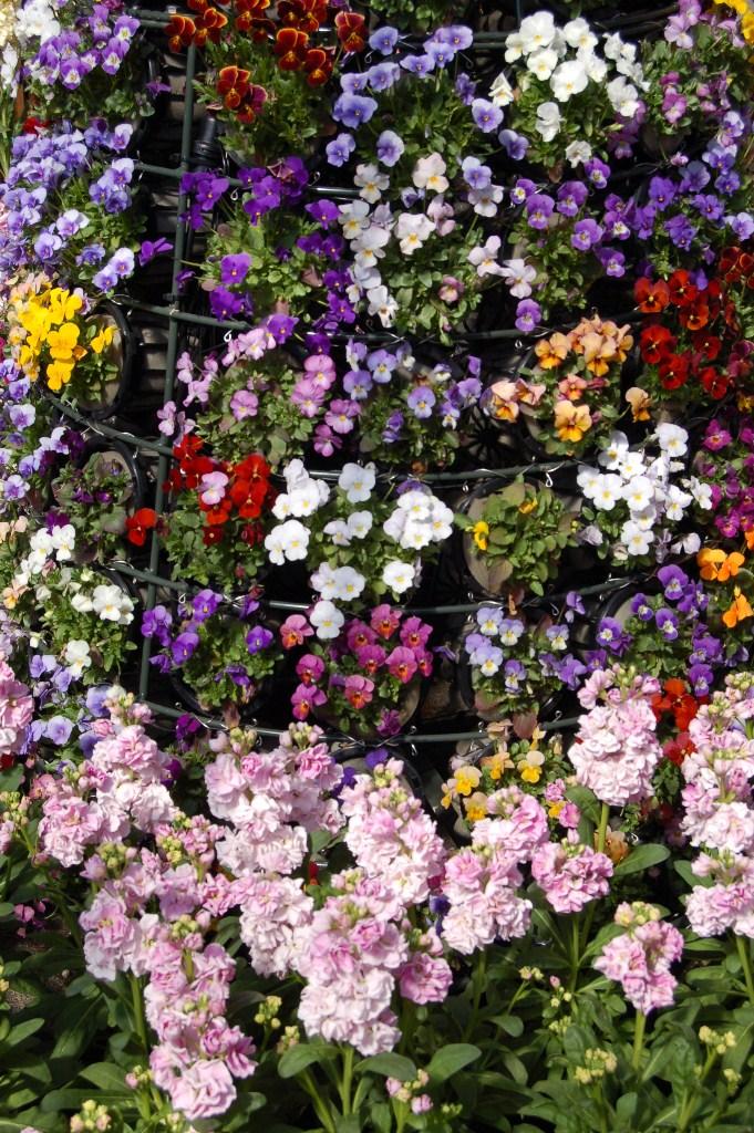 花の回廊「早春の草花展」と梅_a0164068_1194730.jpg