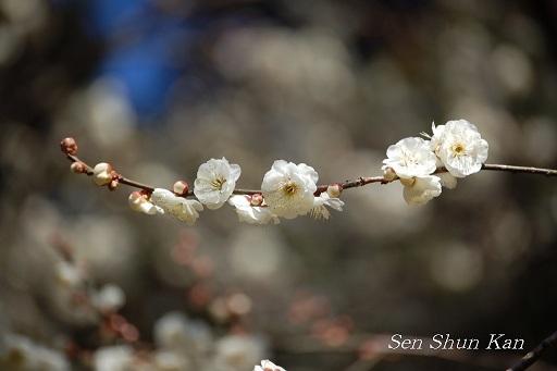 花の回廊「早春の草花展」と梅_a0164068_1203972.jpg