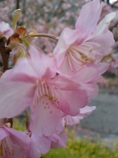 お知らせ 桜_f0017897_16204143.jpg
