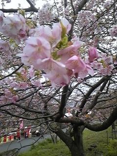 お知らせ 桜_f0017897_16205192.jpg