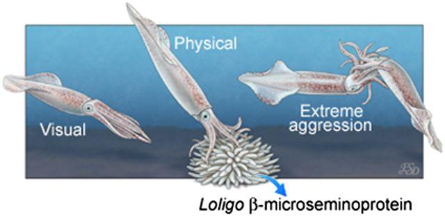 イカの卵嚢にあるオスを闘争に駆り立てるフェロモン_c0025115_198336.jpg