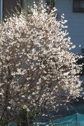 春到来。ほかほか晴天です。開店が遅れました_e0130185_15571673.jpg