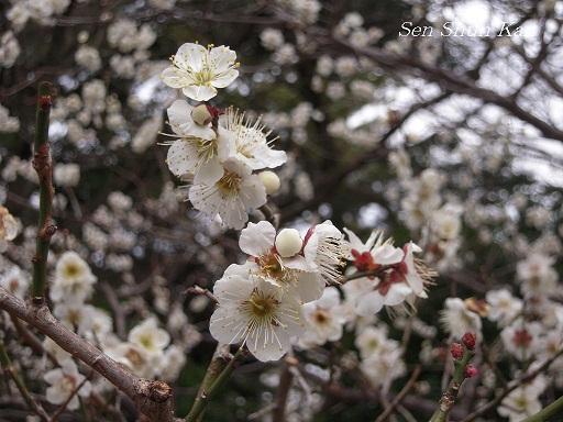 京都御苑の梅_a0164068_1573455.jpg