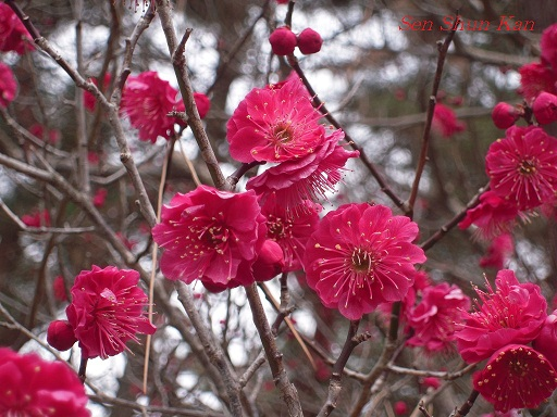 京都御苑の梅_a0164068_1575915.jpg