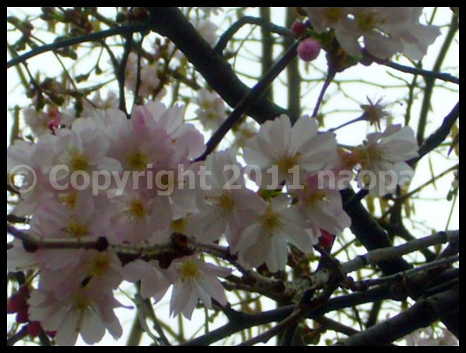 【SAKURAサクラ】CLUNY(サンミッシェル)界隈のサクラ(Paris)_a0008105_1924043.jpg