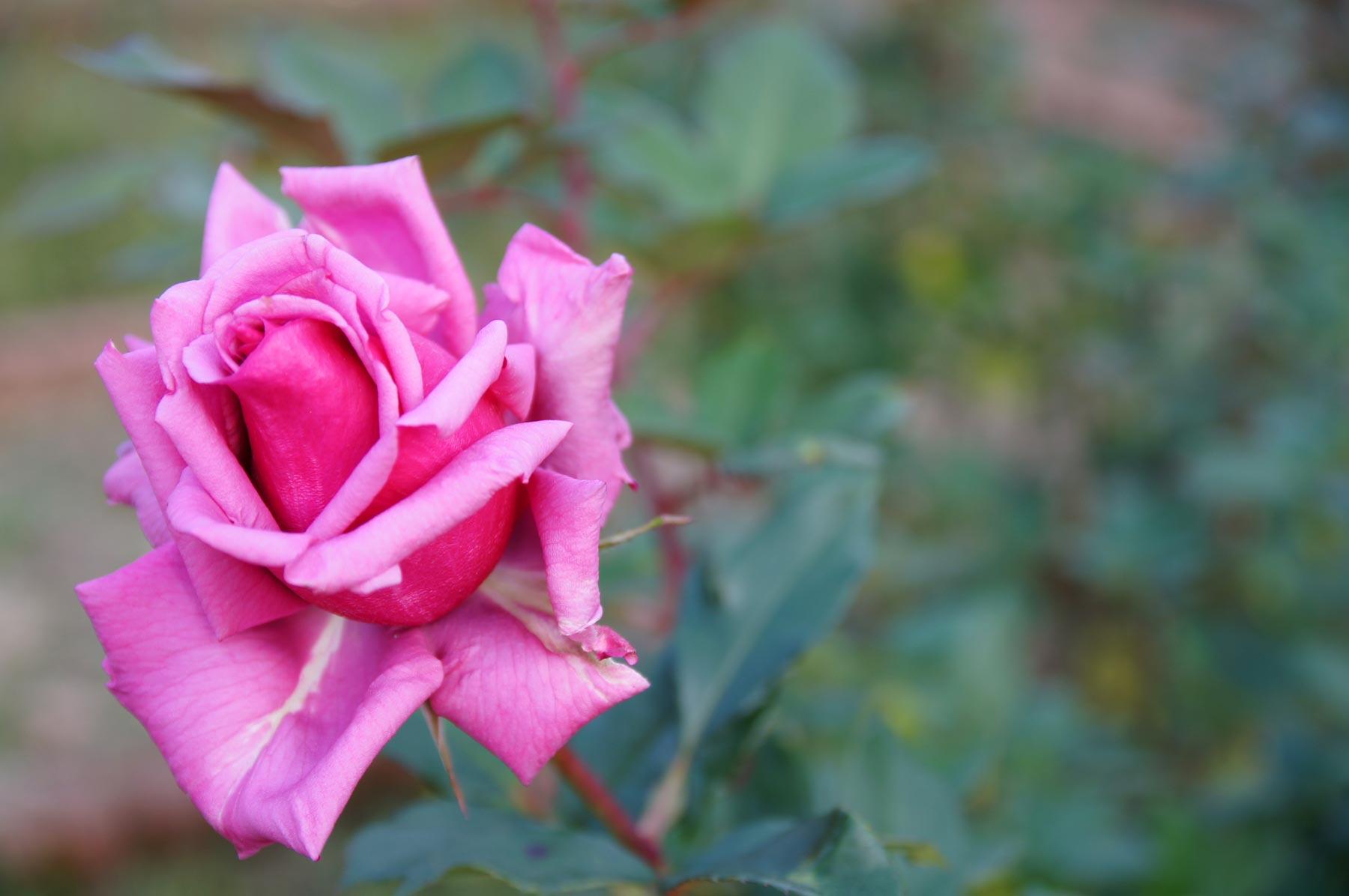 rose 3_e0216133_081293.jpg
