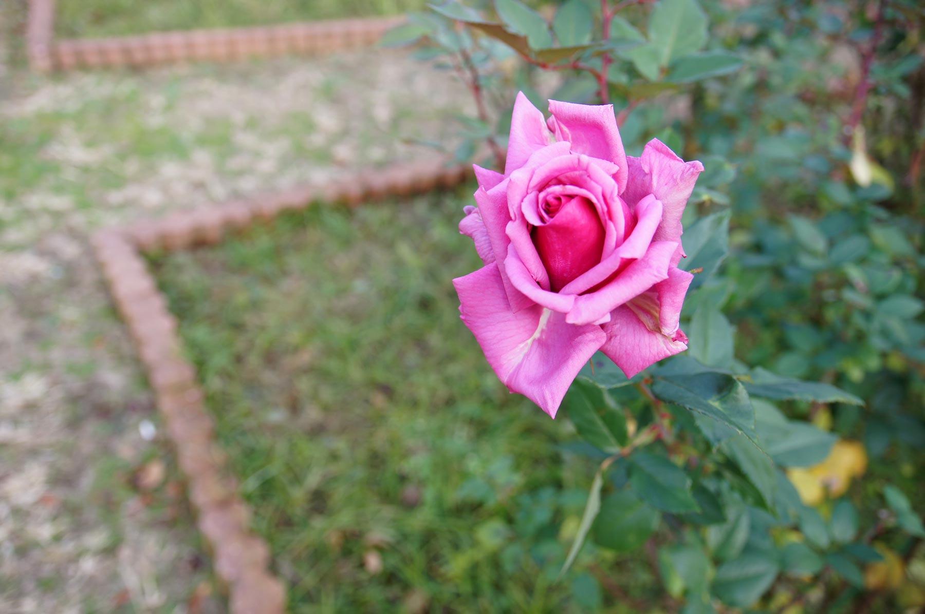 rose 3_e0216133_082054.jpg