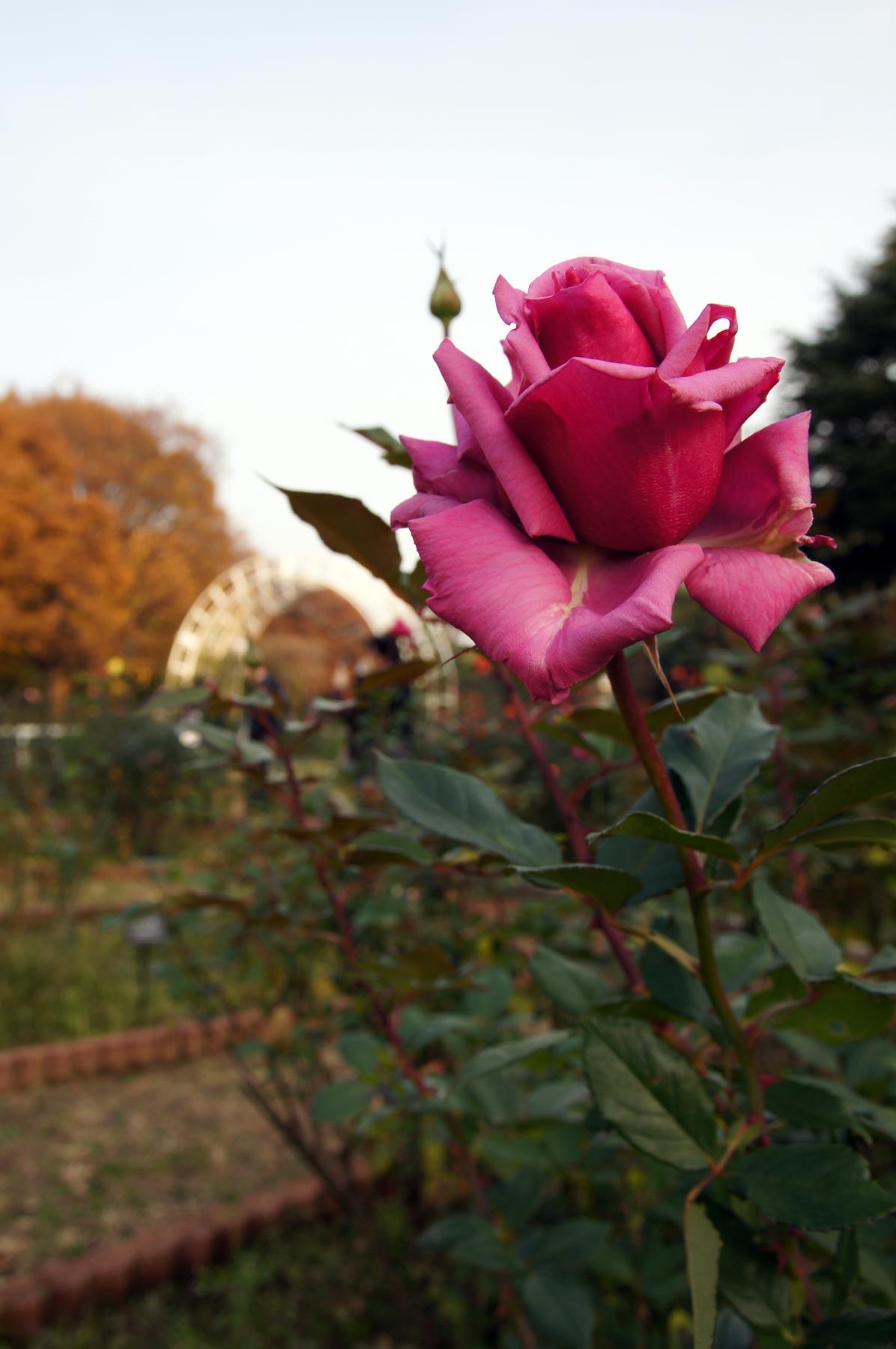 rose 3_e0216133_083264.jpg
