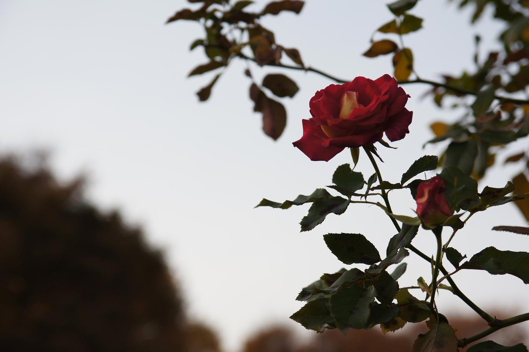 rose 3_e0216133_084026.jpg