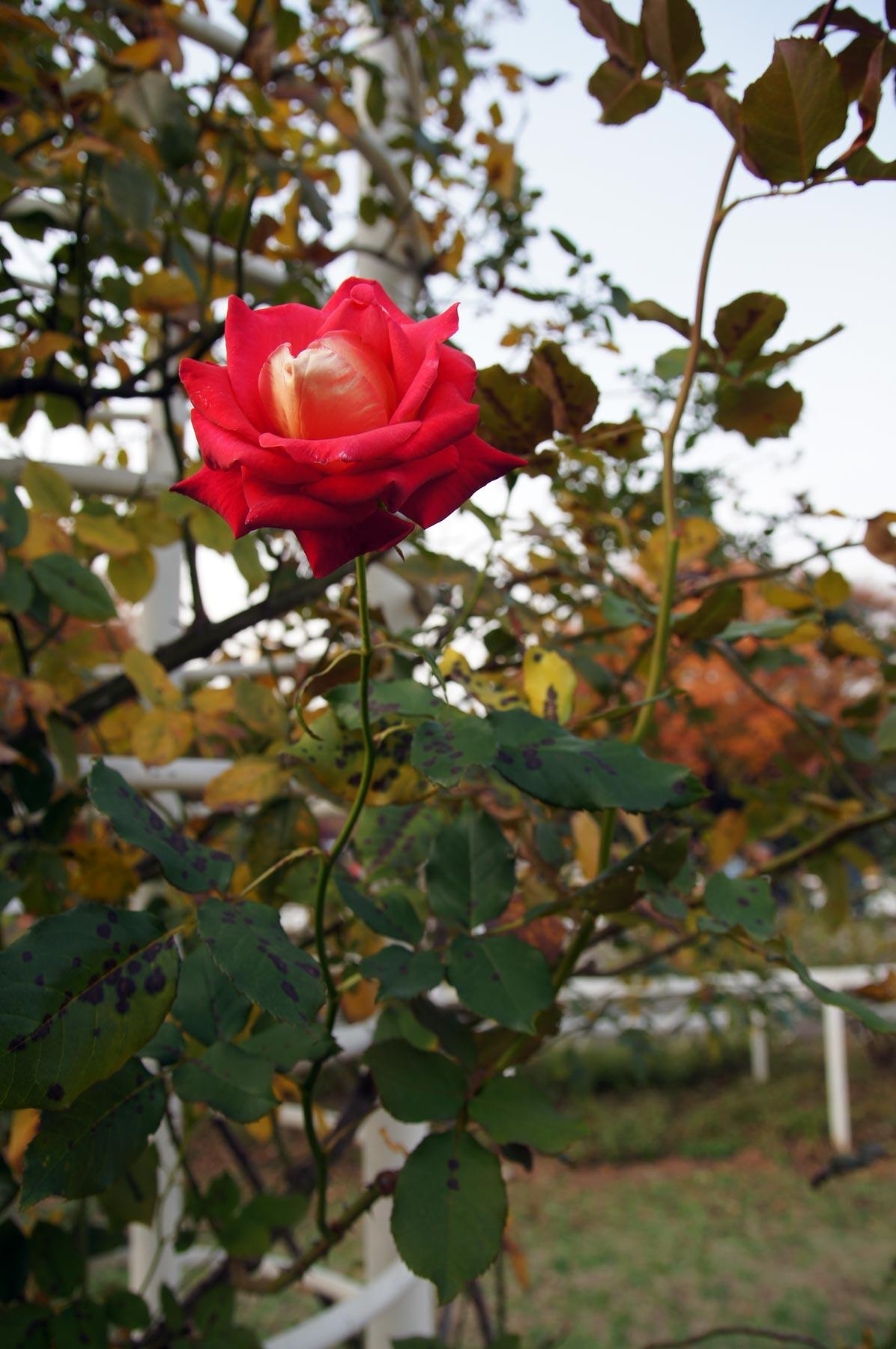 rose 3_e0216133_08481.jpg