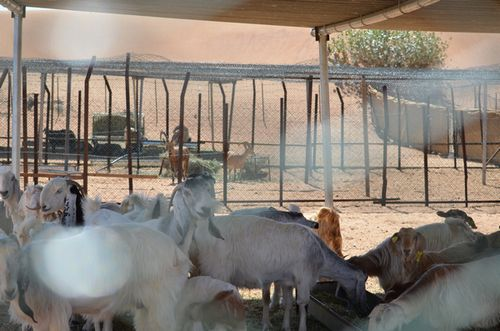 山羊か羊か _b0024758_1134038.jpg