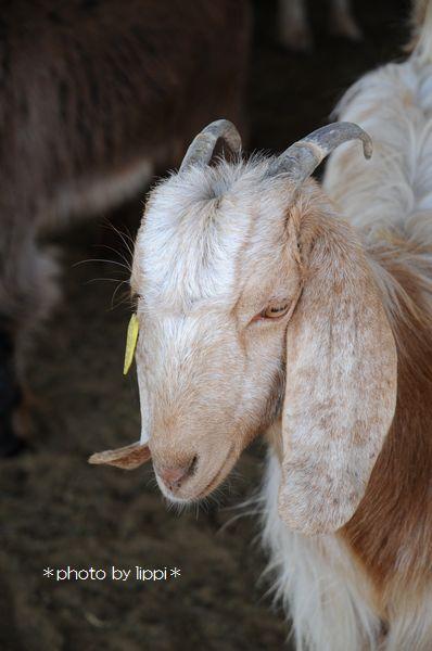 山羊か羊か _b0024758_1185177.jpg