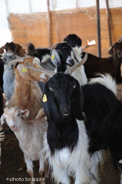 山羊か羊か _b0024758_1193364.jpg