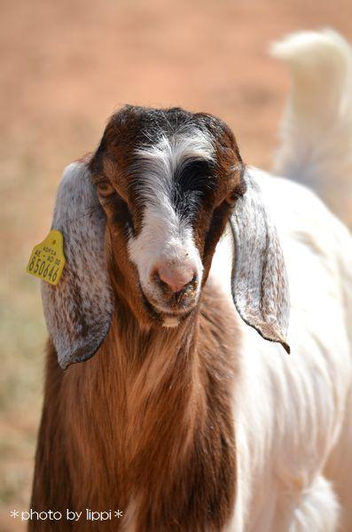 山羊か羊か _b0024758_1233087.jpg