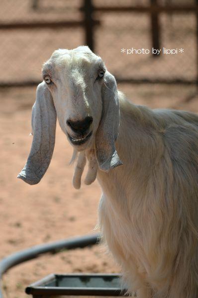 山羊か羊か _b0024758_1233921.jpg
