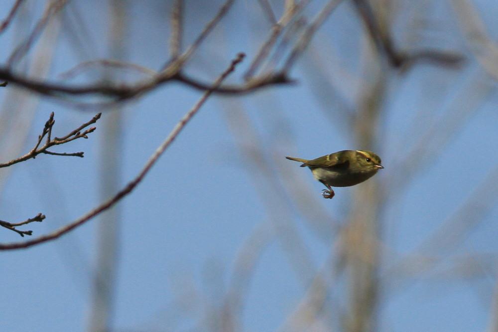 カラフトムシクイ  弾丸のように飛びまくりでした。  2011.2.26千葉県_a0146869_23244156.jpg