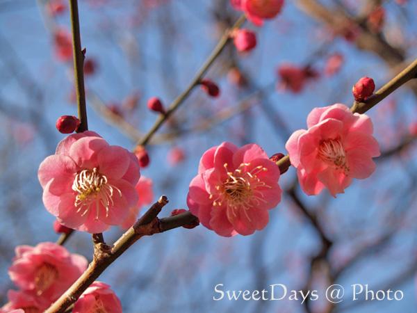 春を探しに新宿御苑へ ~梅と桜~_e0046675_23482658.jpg
