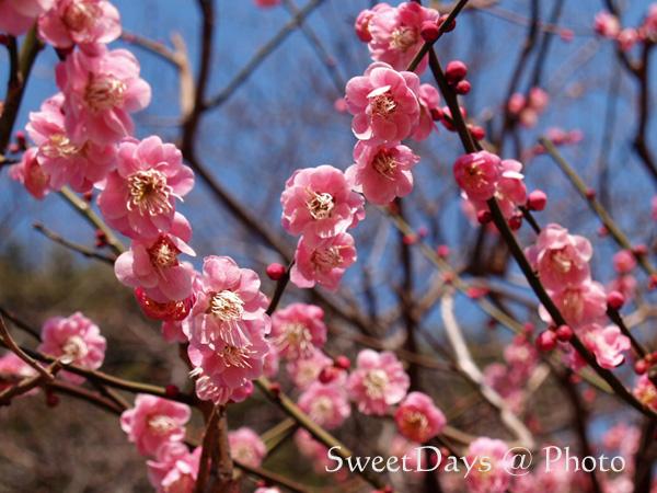 春を探しに新宿御苑へ ~梅と桜~_e0046675_23483252.jpg