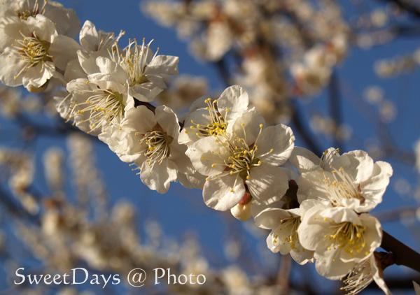春を探しに新宿御苑へ ~梅と桜~_e0046675_23484681.jpg