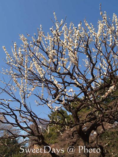 春を探しに新宿御苑へ ~梅と桜~_e0046675_2349086.jpg