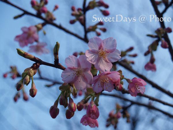 春を探しに新宿御苑へ ~梅と桜~_e0046675_2350072.jpg