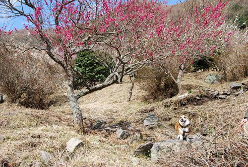 梅香り 犬も笑顔の 花の山_f0101201_2221998.jpg