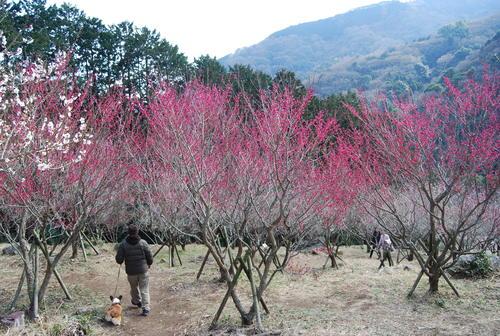 梅香り 犬も笑顔の 花の山_f0101201_2263226.jpg