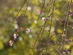 春を探して植物園に、百花園に!! その1 千葉市緑化植物園_b0175688_13131483.jpg