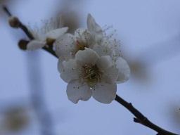 春を探して植物園に、百花園に!! その2 向島百花園_b0175688_1721932.jpg