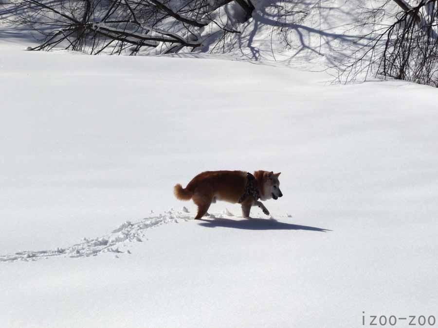 雪原、朝散歩する_c0223095_10543538.jpg