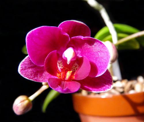 実生のミニシクラメンの初花♪_a0136293_15112514.jpg