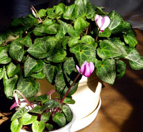 実生のミニシクラメンの初花♪_a0136293_15124096.jpg