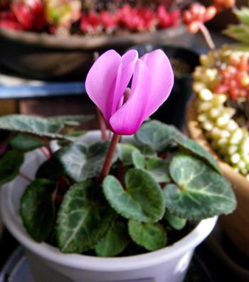 実生のミニシクラメンの初花♪_a0136293_1595938.jpg