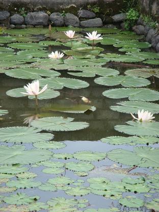プラ・ジュンプンガンの睡蓮 Bunga Tunjung di Pura Taman Jumpungan _a0120328_1163370.jpg