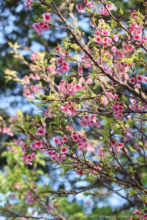 和中華 ☆ 最後の桜便り♪_c0139375_15103053.jpg