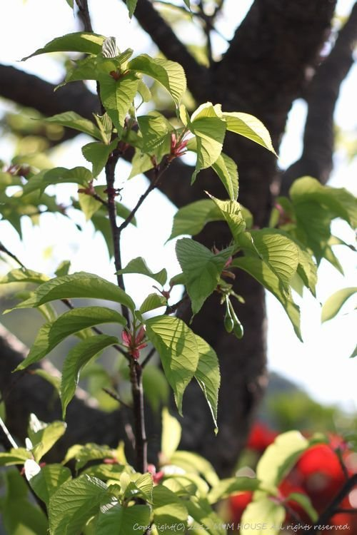和中華 ☆ 最後の桜便り♪_c0139375_15104616.jpg