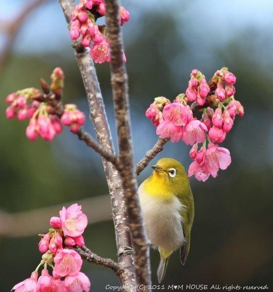 和中華 ☆ 最後の桜便り♪_c0139375_1512141.jpg